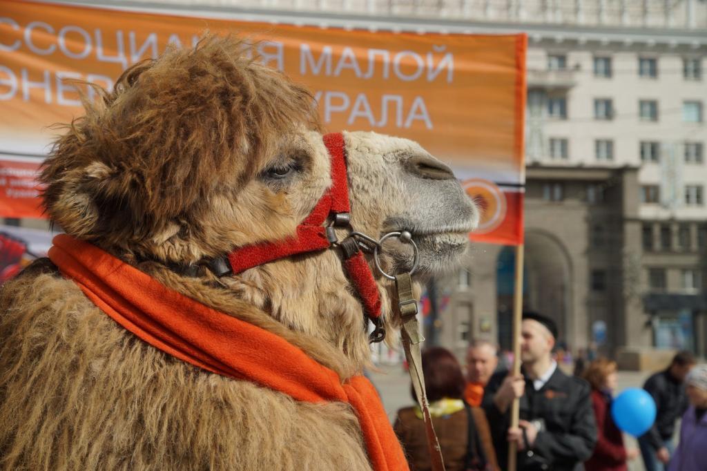 верблюд Григорий Челябинск