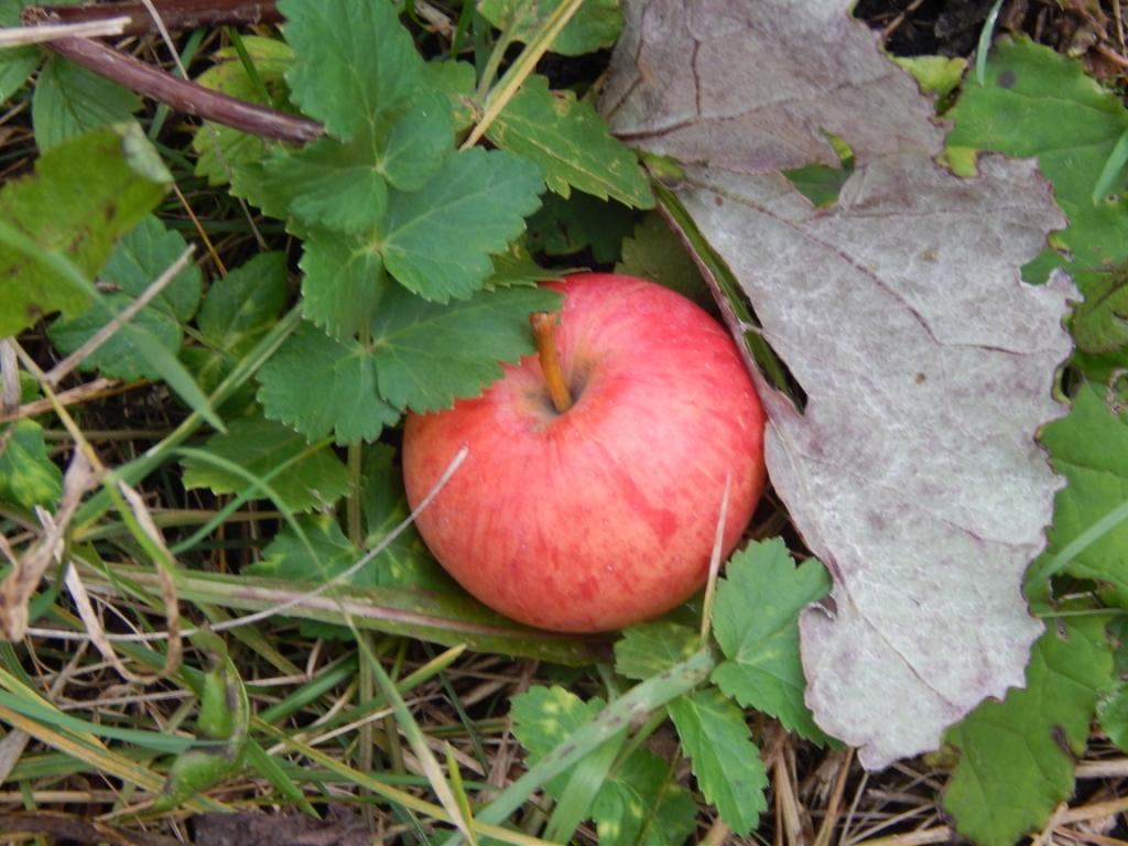 яблоко в траве